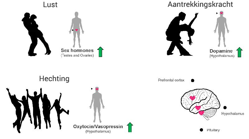 drie fases hormonen